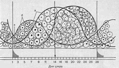 Пролиферативные изменения вагинального эпителия в зависимости от фазы нормального менструального цикла, а...