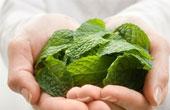Как лекарственные растения пришли в современную медицину?