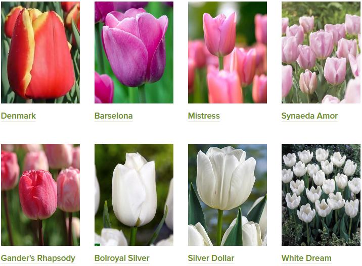 Тюльпаны на vertograd-s.ru